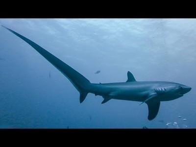 Cómo caza el tiburón zorro con su enorme cola