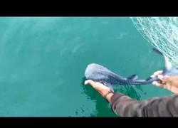 Enlace a Salvan una cría de tiburón ballena