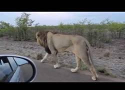 Enlace a El terrible susto al pasear junto a un tigre asiático en plena carretera