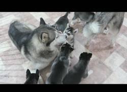 Enlace a Husky padre conoce a sus 9 hijos por primera vez y se lo pasa en grande jugando con ellos