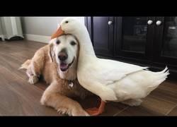 Enlace a Hoy en relaciones extrañas: el perro y el pato, amigos inseparables
