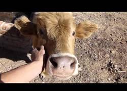 Enlace a La vaca que goza como nadie cuando la acarician