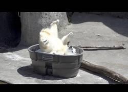 Enlace a La gran diversión de este oso polar en el Zoo de Oregón con una piscina de hielo