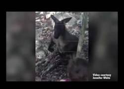 Enlace a De pequeños ya son temibles: Un bebé de canguro ataca a una niña en un safari park