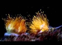 Enlace a Opistobranquios, todo un placer visual