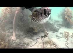 Enlace a Rescate de estos bichitos tan simpáticos (peces puercoespín)