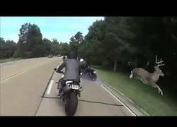 Enlace a Cuando una señal indica que hay ciervos... ES QUE HAY CIERVOS