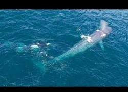 Enlace a Este drone captura el momento en el que unas orcas atacan a una enorme ballena azul