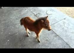 Enlace a Un precioso poni le persigue donde él va