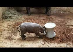 Enlace a Solamente tiene dos semanas de edad y este Rinoceronte ya empieza a aprender a golpear