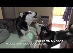 Enlace a Discusión familiar de huskys en forma de aullidos