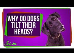 Enlace a ¿Por qué tu perro inclina la cabeza cuando le hablas? [inglés]