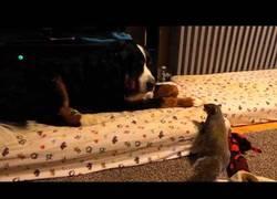 Enlace a Esta simpática ardilla intenta esconder nuez en el pelo del perro