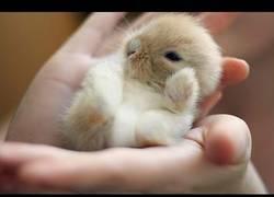 Enlace a Bebé de conejillo hermosísimo que se duerme si lo colocan boca arriba. ¡Ay, que me lo como!