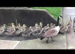 Enlace a Mientras tanto, el paseo mañanero de estos gansos por unas calles
