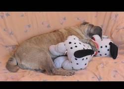 Enlace a Hoy no verás nada más adorable que este Shar Pei durmiendo con un peluche