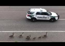 Enlace a Una familia de gansos recibiendo protección oficial