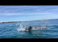 Enlace a La feroz batalla en pleno mar entre una foca y un pulpo