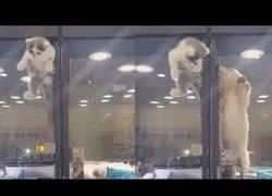 Enlace a El gatito que se escapó de su sitio en esta tienda para reunirse con su amigo el perrito