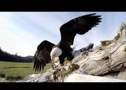 Enlace a Está águila fue cazada robando comida y se llevó la GoPro con ella