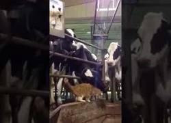 Enlace a El gato que se hizo amigo de un animal muy peculiar: una vaca