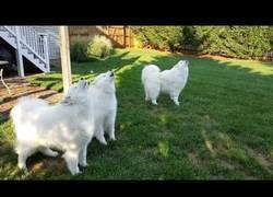 Enlace a El gran cuarteto de estos perros con sus aullidos que te pondrá la piel de gallina