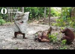 Enlace a El orangután que reclamaba de cualquier forma la atención de su amigo