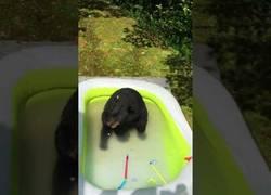 Enlace a El oso que se metió en la piscina de unos niños para disfrutar de un refrescante baño