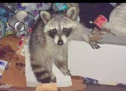 Enlace a Este chico rescató a un mapache tras encontrarlo en la basura