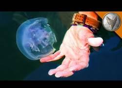 Enlace a El sufrimiento del aventurero Coyote al agarrar medusas con su mano