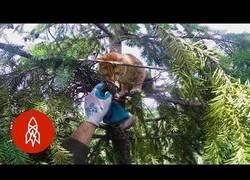 Enlace a Rescatando a varios gatos atascados en árboles muy altos