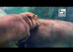 Enlace a Fiona, la bebé hipopótamo del Zoo de Cincinnati, ya juega con su madre y hace la croqueta de diez