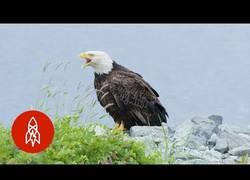 Enlace a Esta ciudad de Alaska está infestada de águilas calvas que atemorizan a la población