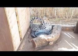 Enlace a Este leopardo su única misión es atraparse la cola