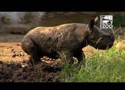 Enlace a La primera vez en el barro de este bebé rinoceronte