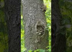 Enlace a Esta mamá mapache pasa un rato difícil haciendo entrar a sus crías dentro de la madriguera