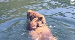 Enlace a Ese tenso momento en el que una madre osa transporta a sus crías por un río