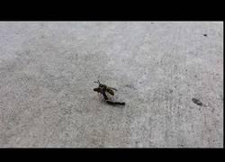 Enlace a Pillan a esta avispa usando un vehículo motorizado para volar
