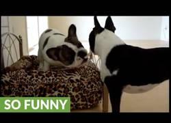Enlace a Estos perretes hermosísimos se pelean por ocupar el sofa