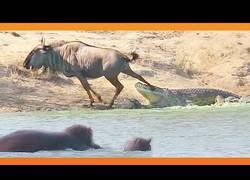 Enlace a Dos hipopótamos salvan a un ñu de la boca de un feroz cocodrilo