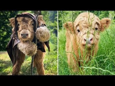 La adorable vaca de montaña que creía ser un perrito