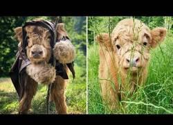 Enlace a La adorable vaca de montaña que creía ser un perrito