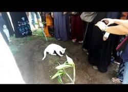 Enlace a Este gatito se opone a irse de la tumba de su dueño... incluso intenta cavar