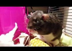 Enlace a Esta rata tiene mejores modales que tú para comer maíz