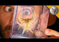 Enlace a Coyote Peterson captura una peligrosa araña de la jungla