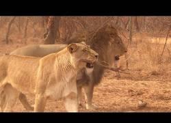 Enlace a Estos leones tienen complejo de perros