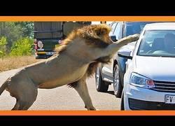 Enlace a La furia de este león para atacar a un coche