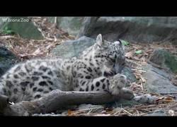 Enlace a Este pequeño leopardo empieza sus primeros pasos para aprender a atacar junto a su madre