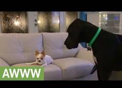 Enlace a Se adueña del sofá a pesar de ser del tamaño del hocico del Gran danés