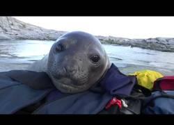 Enlace a La curiosidad de este bebé de foca al ver a turistas por su zona
